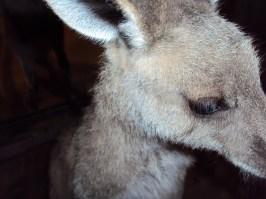 """'Sarah' EGK in doco """"Kangaroo Mob"""""""