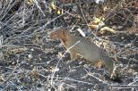 Another amazingly difficult animal to capture on film - the slender mongoose. Fascinating animals!