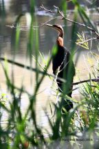 Elegant African darter relaxing by the water.