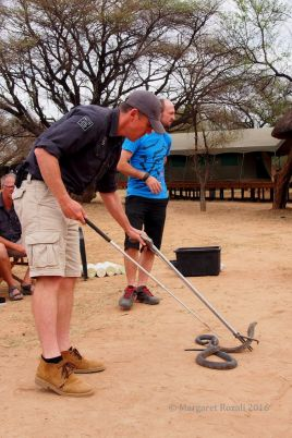 Learning to use the snake handling equipment on the forest cobra.