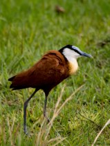 The African jacana is a little water bird that can walk on lillies due to it's foot structure and lightweight.