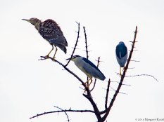 Black-crowned night herons with the spotty juvenile.