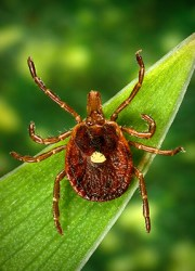 Lone star tick. Photo by the CDC.