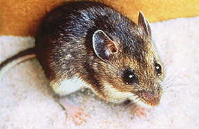 Deer mouse, a reservoir for Hantavirus.