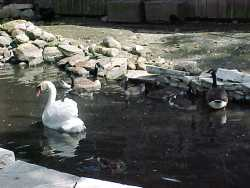 Swans aren't that good at scaring away Canada geese. Photo: Stephen M. Vantassel.