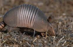 Profile view of a nine-banded armadillo.