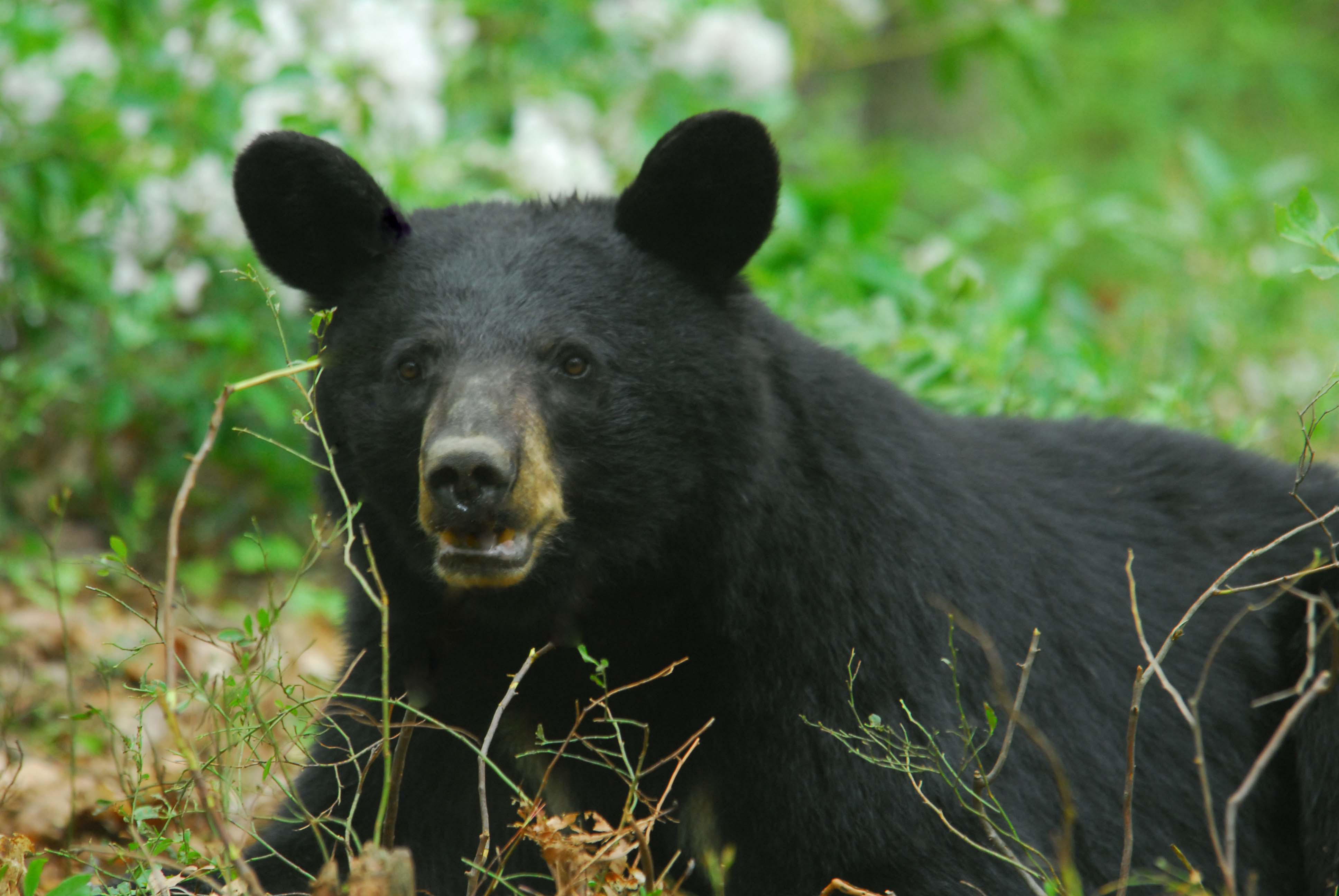 How To Deal With Problem Black Bear In New Hampshire