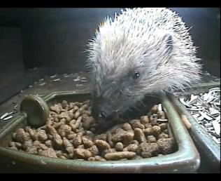 Hedgehog 24thAug2_00000