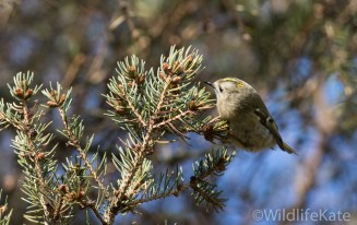 Goldcrest_-3532_lowRes11