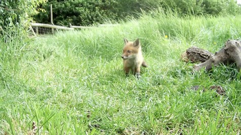 Fox cub 31st May 4pm_3 _00000