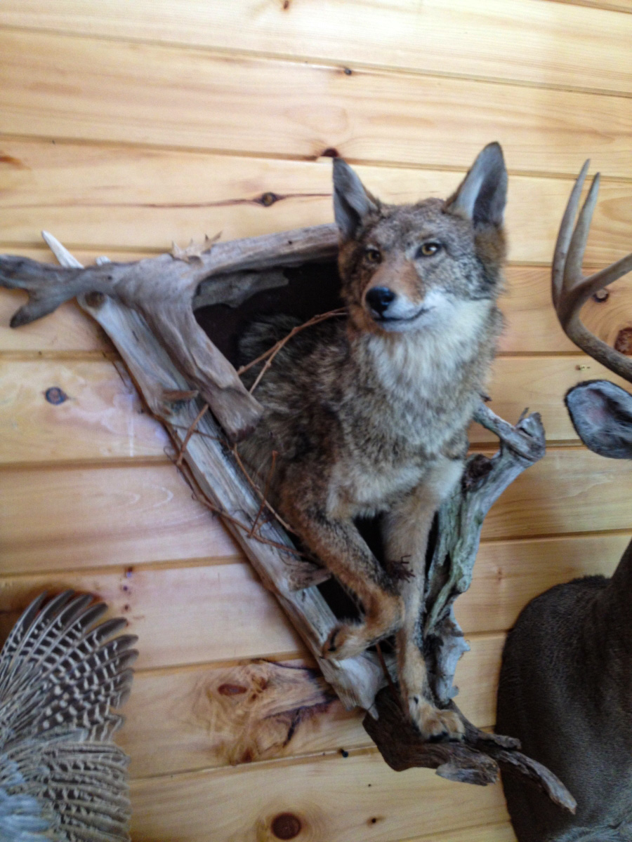 Coyote Wall Mount