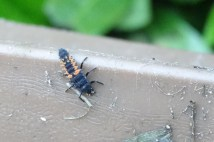 ladybird-larvae