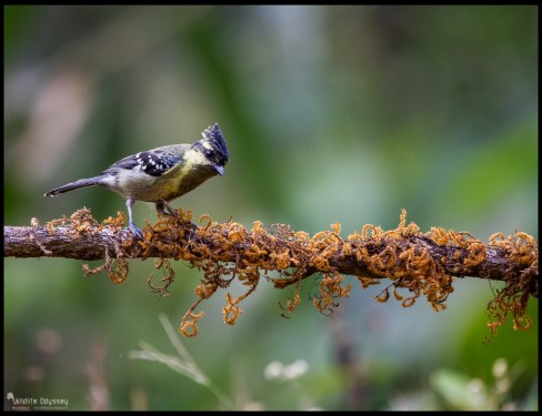indian-black-lored-tit_26221462944_o