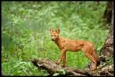 indian-wilddog-dhole_7677906596_o