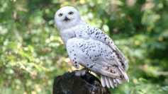 hedwig-in-forest