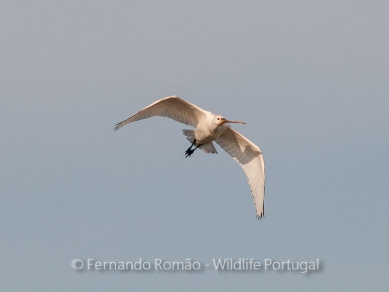 Birdwatching Spoonbill