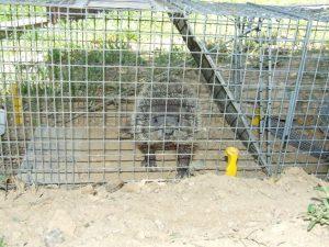 Ground Hog Removal Franklin TN
