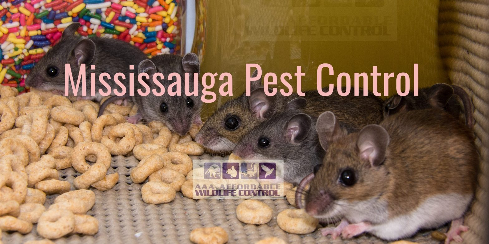 Wildlife Removal Mississauga - Squirrel Removal Mississauga, Raccoon Removal Mississauga, Bird Removal Mississauga