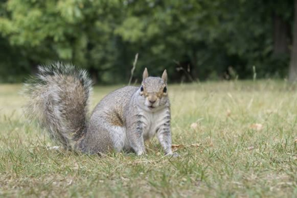 Eastern gray squirrel or grey squirrel