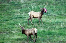 elk-with-balloon