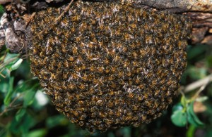 Africanized Honey Bees swarming