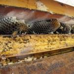 bee honey comb visible
