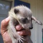abandonned raccoon baby