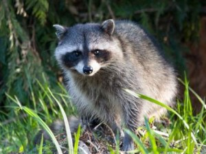 Raccoon can carry horrific diseases.
