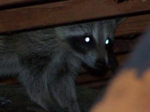 raccoon in the attic