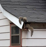 A squirrel climbing into a roof overhang