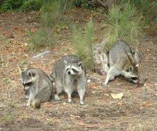 raccoons at the beach