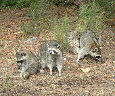Raccoons at Holmes Beach