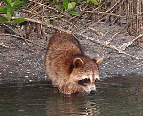 raccoon in a stream