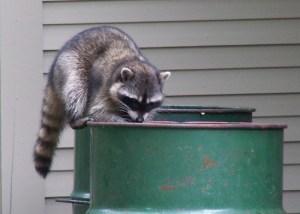 racoon in tash
