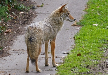 coyote_removal