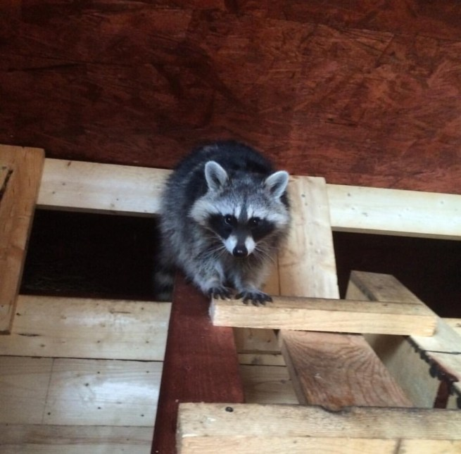 Raccoon-removal-manatee-county