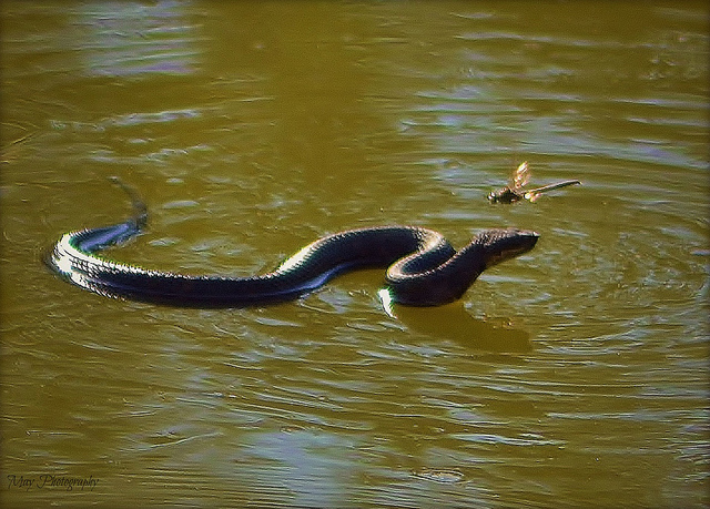 Water Moccasin floating on top of Water