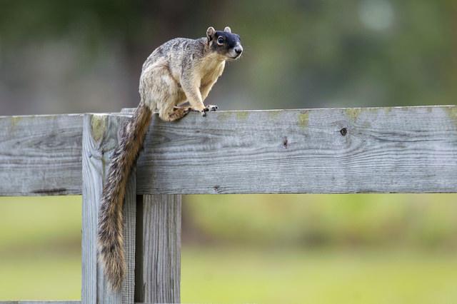 Fox-Squirrel-Florida-Lakewood-Ranch