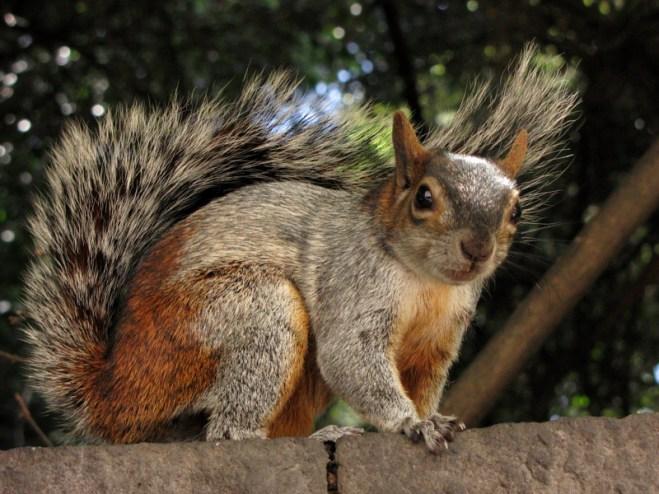 mexican-gray-squirrel-venice