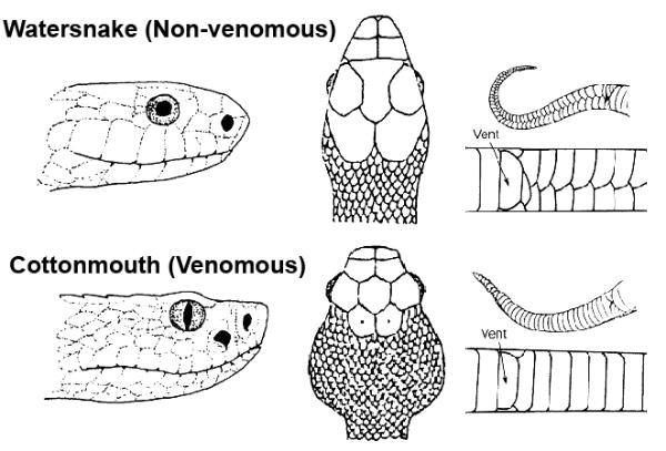 Cottonmouth Snake Body Diagram House Wiring Diagram Symbols