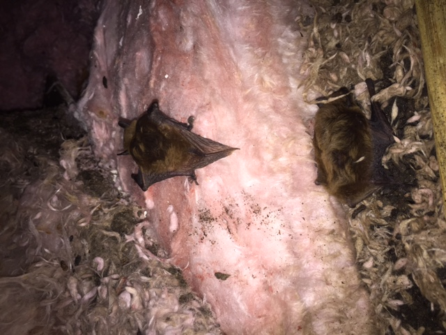 Bats-Attic-Removal-Lakewood-Ranch