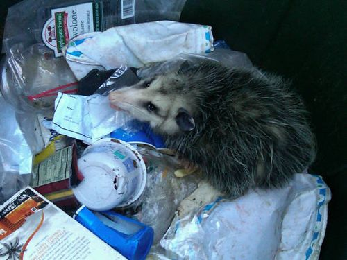 opossum-trash-bradenton-trapper