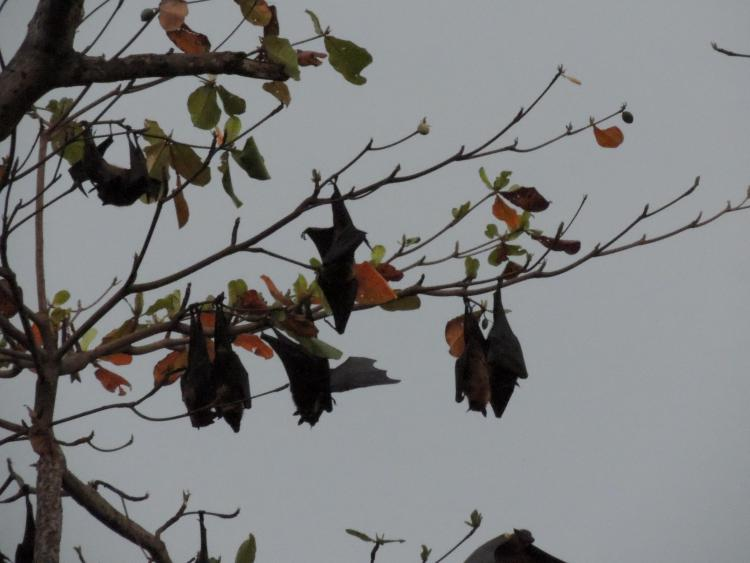 Bat-Trapping-Removal-Sarasota