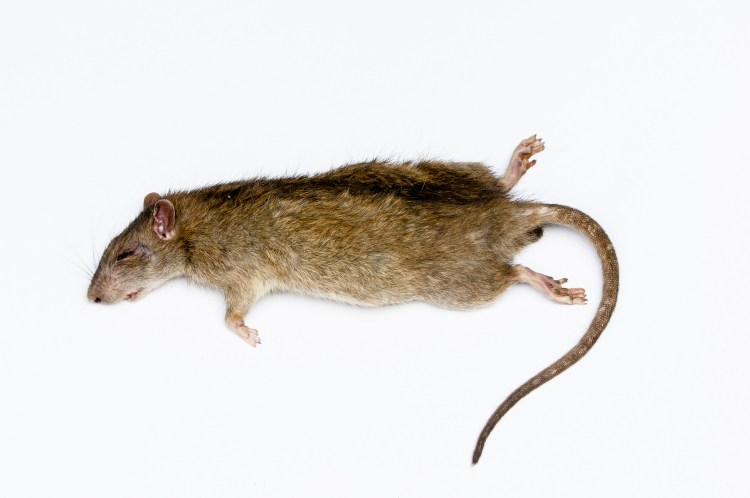 rat-white-background
