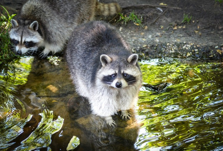 Catch all the latest animal control and removal articles for Do raccoons eat fish