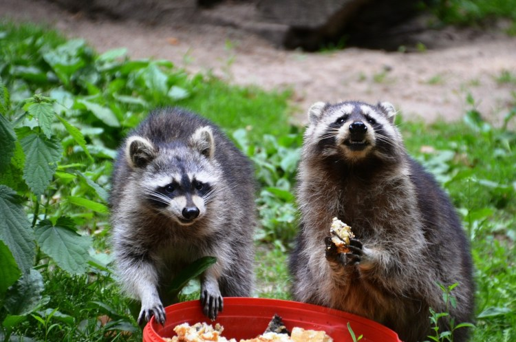raccoon-eating-nocturnal