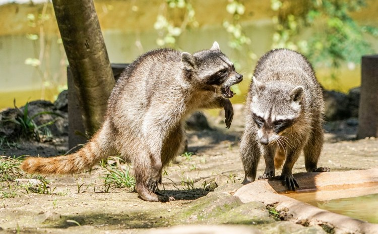 Two raccoons interacting.