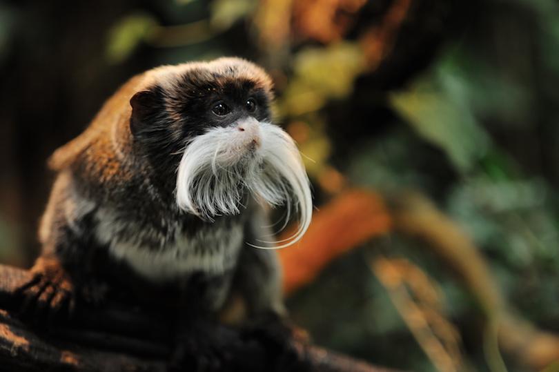 cute emperor tamarin