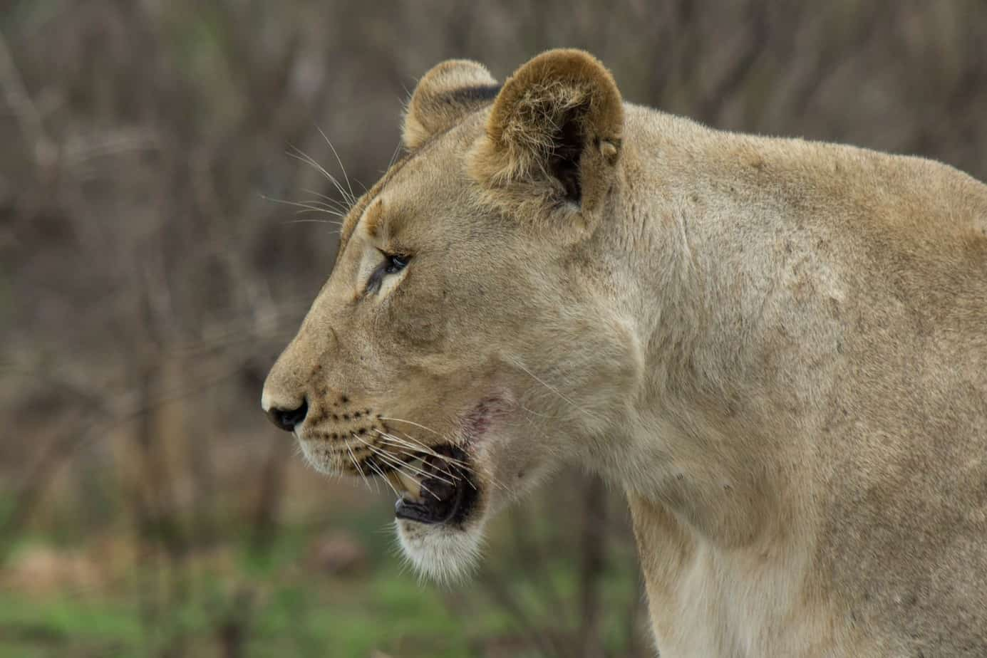 Lion @ Munyawana Game Reserve. Photo: Håvard Rosenlund
