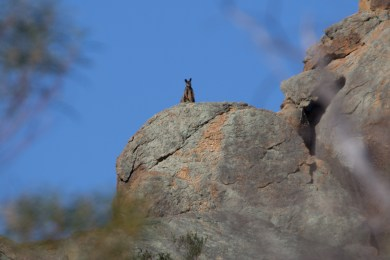 Black-flanked rock-wallaby @ Mt Caroline Nature Reserve